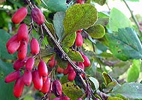 barberry, liver detoxification