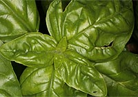 basil, fever, flu, colds