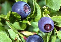 bilberry, eye ailments, cataracts