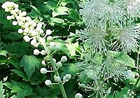black cohosh, menstrual, menopausal, problems