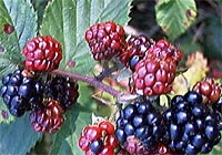blackberry, hemorrhoids, piles
