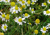 German chamomile, relax, calm and fight anxiety