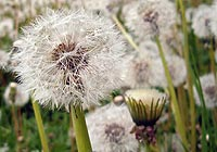 dandelion, lung breast tumors