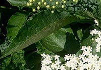elder flower, flu