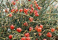 The dangers of the herb ephedra