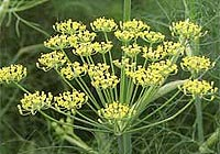 fennel, increase milk in breastfeeding mothers