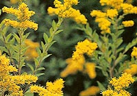goldenrod, Solidago virgaurea