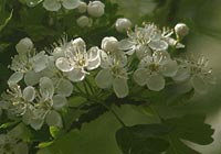 hawthorn, tightness around heart area
