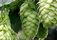 hops, decrease alcohol desire