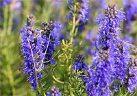 hyssop, eases emotional pain