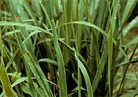 lemon grass, Cymbopogon citratus