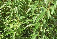 lemon verbena, alcohol abuse