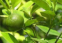 lime, bilious headaches