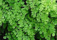 http://www.ageless.co.za/herbs/maidenhair.jpg