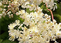 meadowsweet, antipyretic