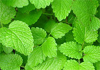 Information On The Herb Melissa