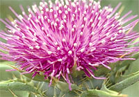 milk thistle, liver damage