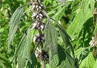 motherwort, female reproductive disorders