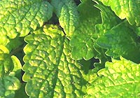 peppermint, Mentha piperita, leaves - but not for use with small infants.