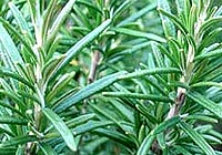 rosemary, Rosmarinus officinalis, leaves