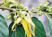 ylang ylang, boost sensuality and an aphrodisiac